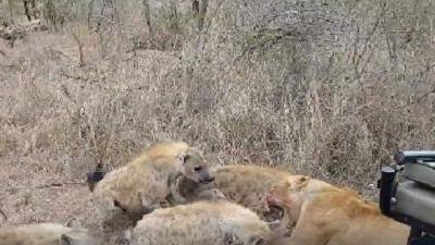 """Cặp sư tử vẫn bị loài vật này """"nẫng"""" mất mồi ngon một cách trắng trợn"""