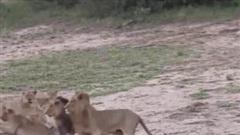Bị bầy sư tử cắn xé, trâu rừng có màn lật kèo ngoạn mục nhờ quyết định khôn ngoan