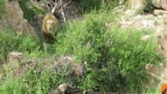 Trâu rừng bị gãy chân vẫn quyết chiến với 3 sư tử đực - 'Phép màu' có xuất hiện trong cơn nguy khốn?