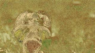 Thằn lằn cổ diềm tung tuyệt chiêu thoát khỏi trăn khủng trong tích tắc