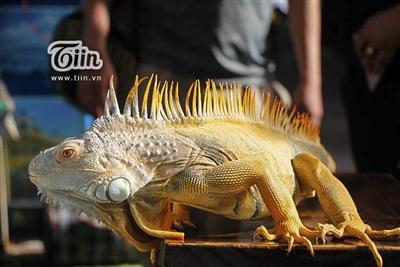 Những chú rồng Nam Mỹ với màu sắc đẹp mắt được mang đến giao lưu.