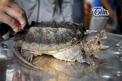 Đây là một chú rùa lai, được phối giữ rùa thường và rùa cá sấu. Loài này có đuôi và bản tính rất hung hăng, sẵn sàng cắn mọi thứ...