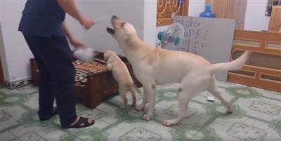 Đáng yêu như chú cún này: giằng co, ngăn chủ đánh bạn cùng nhà 1