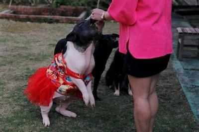 Chú lợn cưng được cô cho mặc chiếc váy đỏ nổi bật