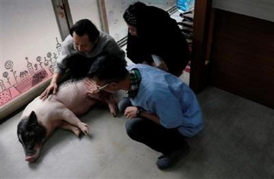Rất khó để tìm được nơi khám, chữa bệnh cho lợn