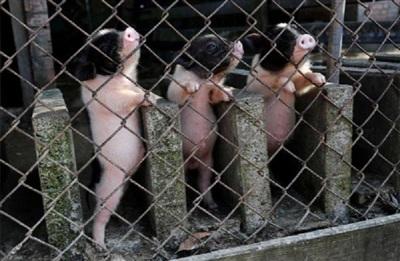 Những chú lợn hết sức dễ thương