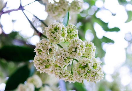 Hoa sữa - loài hoa đặc trưng của Hà Nội
