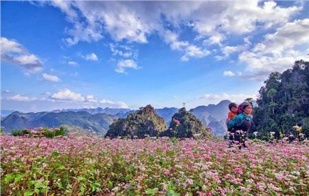 Hoa tam giác mạch nổi tiếng ở Hà Giang