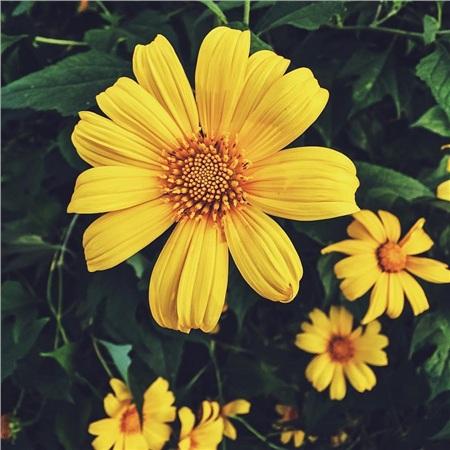 Hoa dã quỳ với sắc vàng rực rỡ