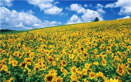 Đồi hoa hướng dương còn được gọi là đồi hoa mặt trời