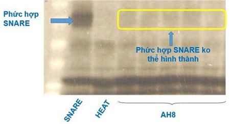 AH8 ức chế hình thành phức hợp SNARE nên làm gián đoạn giải phóng ACh