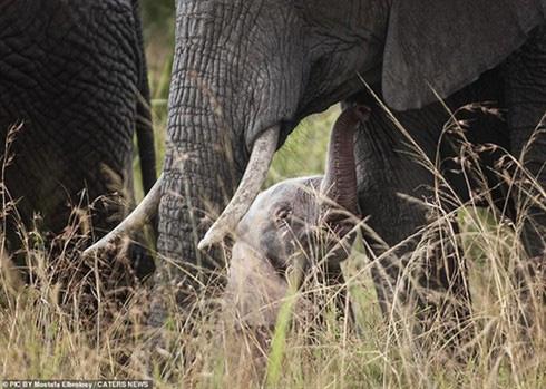 Không những không bị ruồng bỏ, chú voi con này được cả đàn chăm sóc rất tốt