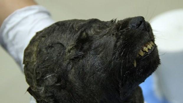 Đầu chú chó đóng băng mới được phát hiện. (Nguồn: CNN)