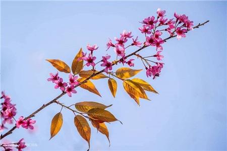 Lên Đà Lạt mà xem, hoa mai anh đào đã nở hồng rực cả con phố rồi này! 0