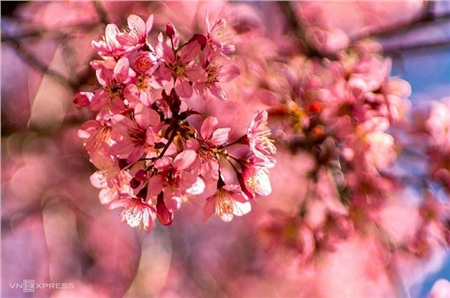 Lên Đà Lạt mà xem, hoa mai anh đào đã nở hồng rực cả con phố rồi này! 3