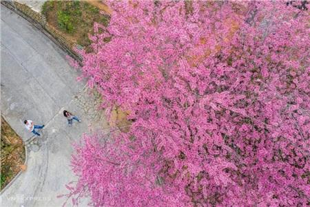 Cũng như hoa mơ, hoa mận Mộc Châu, mỗi khi hoa mai anh đào nở cũng chính là thời khắc đất trời chuyển mình từ đông sang xuân.(Ảnh: Vnexpress)