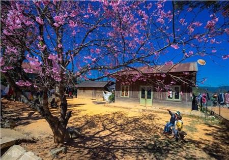 Cũng như hoa mơ, hoa mận Mộc Châu, mỗi khi hoa mai anh đào nở cũng chính là thời khắc đất trời chuyển mình từ đông sang xuân.Khi nở, hoa thường mọc thành từng chùm, mọc đều từ gốc đến ngọn, một chùm hoa bung nở dày đặc, cánh hoa lớn và nhuộm hồng đậm.Năm nào nắng ấmnhiều thì năm đóhoa sẽ nở sớm hơn và ngược lại.(Ảnh: Vnexpress)