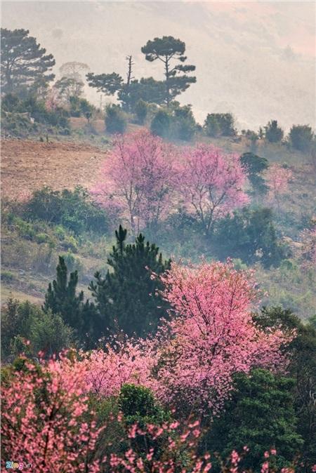Rừng hoa xen giữa rừng thông, rải rác khắp thành phố mang đầy vẻ lãng mạn. (Ảnh: Zing)