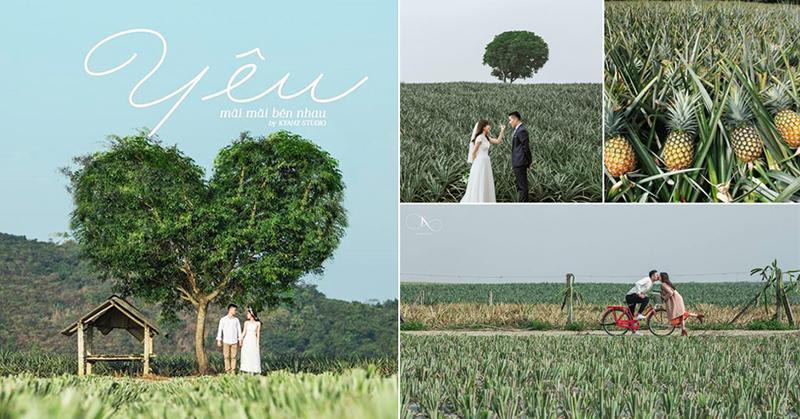 Cánh đồng dứa là địa điểm xuất hiện rất nhiều trong những bộ ảnh cưới của các cặp đôi