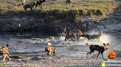 Cả hai liên tiếp tấn công con mồi trước khi hạ gục nó