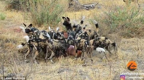 Đàn chó hoang thưởng thức bữa ăn sau khi giành được từ linh cẩu