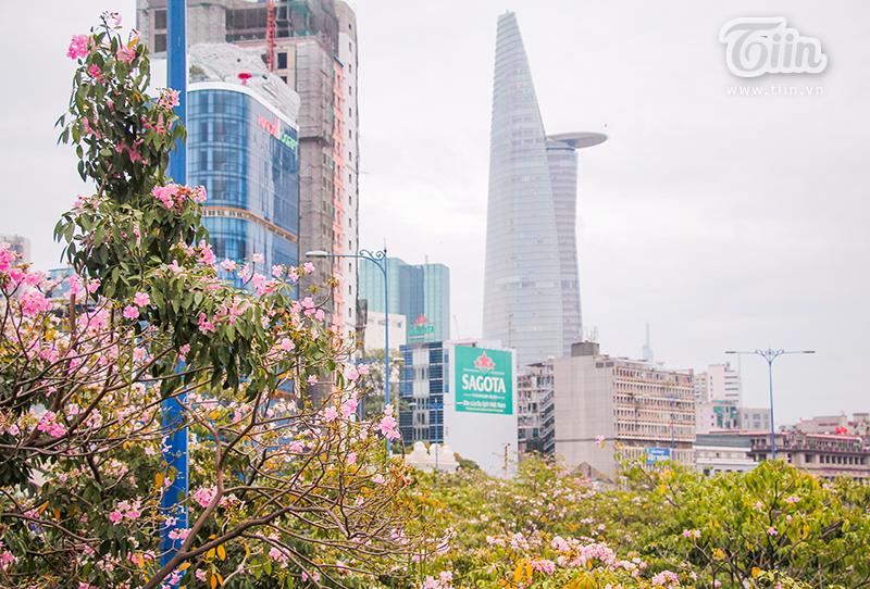 Được trồng thử nghiệm tại Sài Gòn từ năm 2009 và cho đến nay những bông hoa kèn hồng đã trở thành một 'đặc sản'được nhiều người dân ở đây yêu thích.