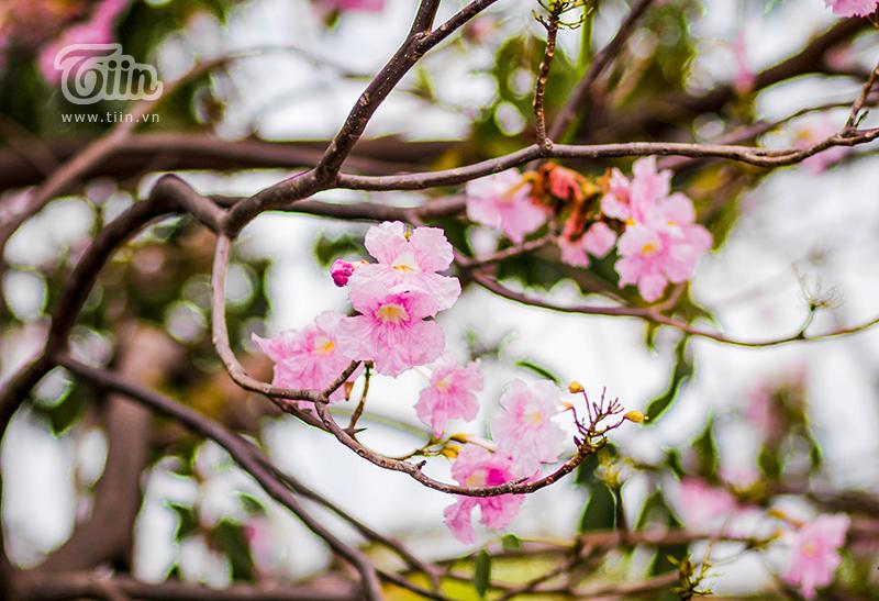 Hoa kèn hồng có màu sắc hồng tươi thắm giống sắc hoa mai anh đào ở Đà Lạtvà thường nở thành từng chùm khoảng 7 đến 10 bông.