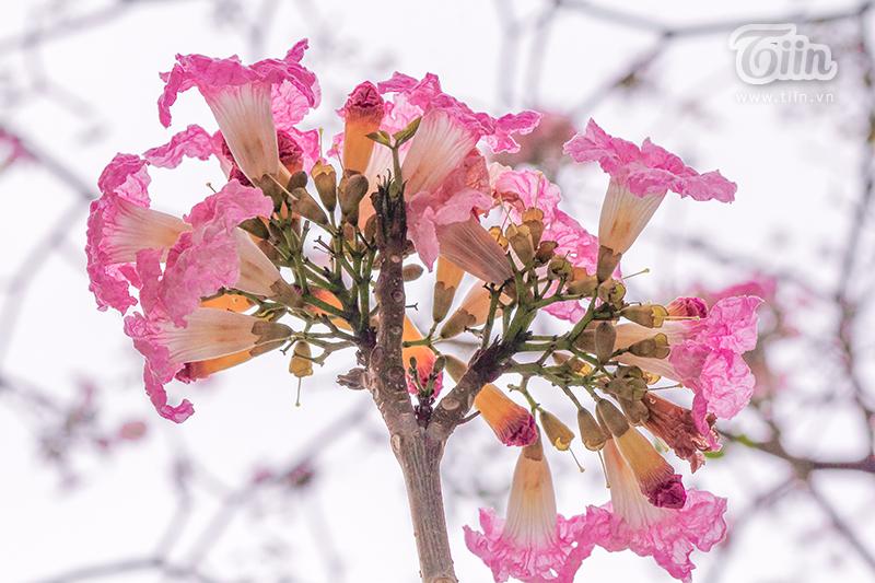Khi hoa nở phần lá cây sẽ rụng gần hết nên cả cây kèn hồng sẽ rực rỡ một màu hồng vô cùng bắt mắt.