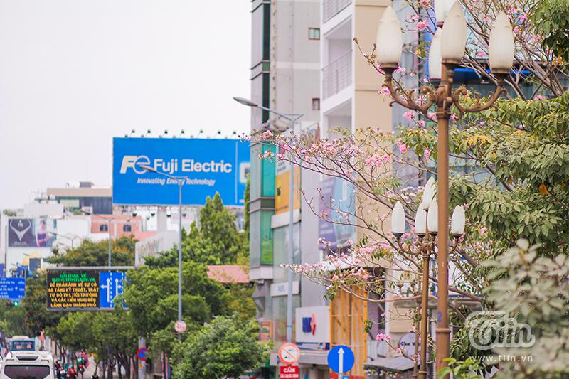 Mọi năm, hoa kèn hồng thường nở vào tháng 4 đến tháng 6 nhưng năm nay do thời tiết nắng nóng khiến ngay sau dịp Tết Nguyên Đán, hoa đã nở rộ.