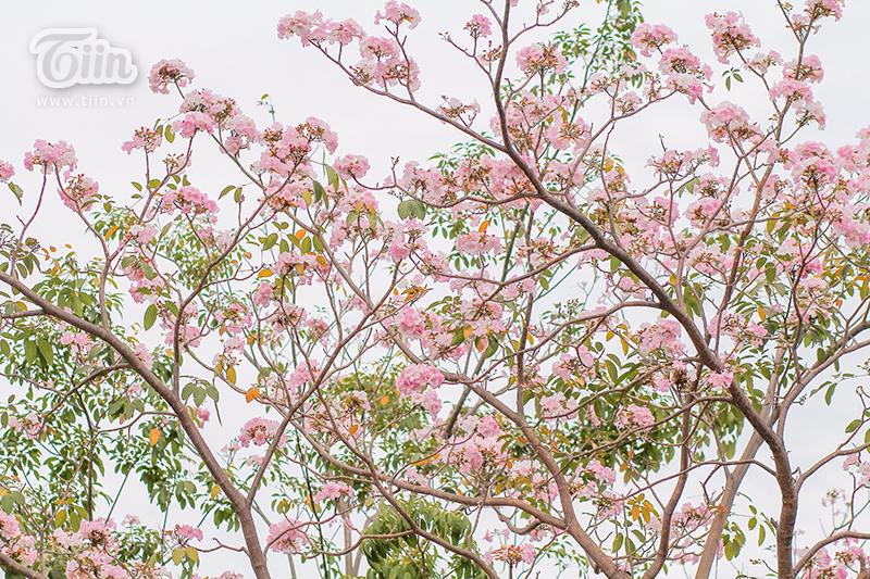 Những cành hoa kèn hồng nở rực trên đườngĐiện Biên Phủ (quận Bình Thạnh), Đại lộ Võ Văn Kiệt (quận 1).