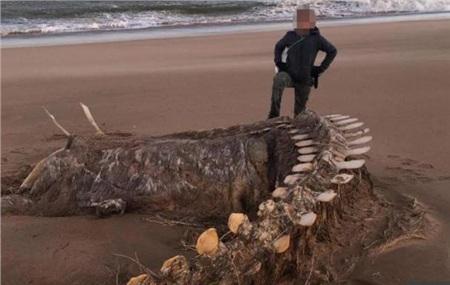 Xác sinh vật khổng lồ dạt trên bờ biển ở Scotland đang gây xôn xao mạng xã hội. Ảnh: The Sun