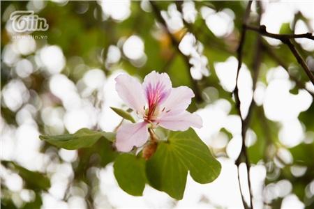 Màu sắc dịu dàng của hoa ban như xua tan cái âm u, xám xịt của thời tiết se lạnh tại Hà Nội.
