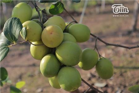 Khu vườn rộng 1 héc ta, trồng khoảng 2.000 gốc táo. Táo ở vườn gồm 2 loại: Táo hồng (trái dài, có vị chua ngọt) và táo hắc (trái tròn, vị ngọt thuần).