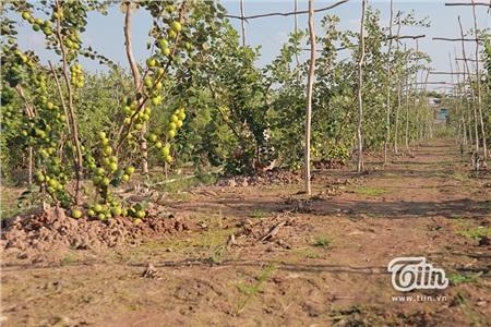 Năm nay thời tiết thuận lợi, chăm sóc tốt nên cây táo nào cũng xum xuê.