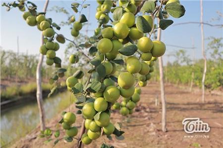 'Đột nhập' vườn táo ở miệt vườn Đồng Tháp: quả lúc lỉu từ gốc đến ngọn, ăn 'tẹt ga' không giới hạn thời gian 12