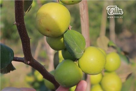 'Đột nhập' vườn táo ở miệt vườn Đồng Tháp: quả lúc lỉu từ gốc đến ngọn, ăn 'tẹt ga' không giới hạn thời gian 13