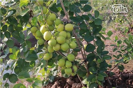 'Đột nhập' vườn táo ở miệt vườn Đồng Tháp: quả lúc lỉu từ gốc đến ngọn, ăn 'tẹt ga' không giới hạn thời gian 14