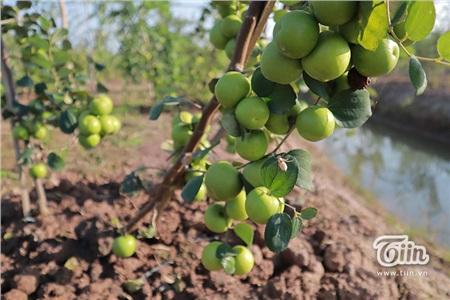 'Đột nhập' vườn táo ở miệt vườn Đồng Tháp: quả lúc lỉu từ gốc đến ngọn, ăn 'tẹt ga' không giới hạn thời gian 15