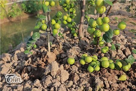 'Đột nhập' vườn táo ở miệt vườn Đồng Tháp: quả lúc lỉu từ gốc đến ngọn, ăn 'tẹt ga' không giới hạn thời gian 16
