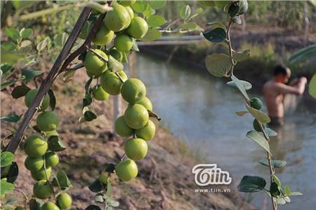 'Đột nhập' vườn táo ở miệt vườn Đồng Tháp: quả lúc lỉu từ gốc đến ngọn, ăn 'tẹt ga' không giới hạn thời gian 17