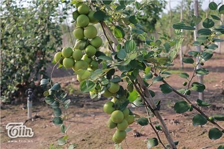 'Đột nhập' vườn táo ở miệt vườn Đồng Tháp: quả lúc lỉu từ gốc đến ngọn, ăn 'tẹt ga' không giới hạn thời gian 18