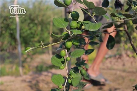 'Đột nhập' vườn táo ở miệt vườn Đồng Tháp: quả lúc lỉu từ gốc đến ngọn, ăn 'tẹt ga' không giới hạn thời gian 19