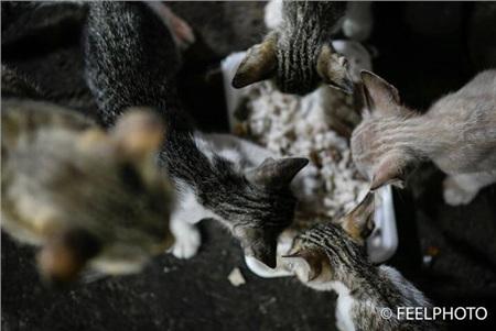 Đàn mèo con đói bụng vội vã ăn.