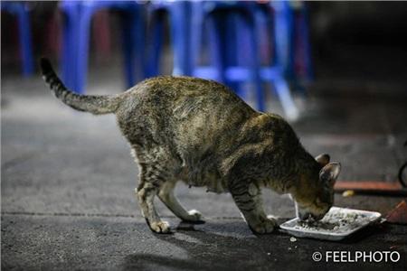 Chỉ đến khi đàn con ăn no bụng rồi bỏ đi, mèo mẹ mới lại gần và ăn chỗ thức ăn còn sót lại.