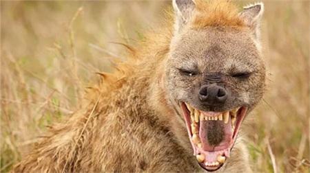 Linh cẩu từng không hung ác như ngày nay và chung sống hòa bình với những loài người tuyệt chủng - ảnh: MARK BRIDGE