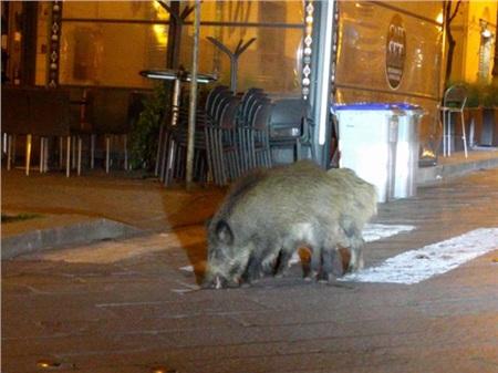 Trong khi cả mọi người ở trong nhà vì Covid-19, các loài động vật 'tung tăng dạo phố' 0