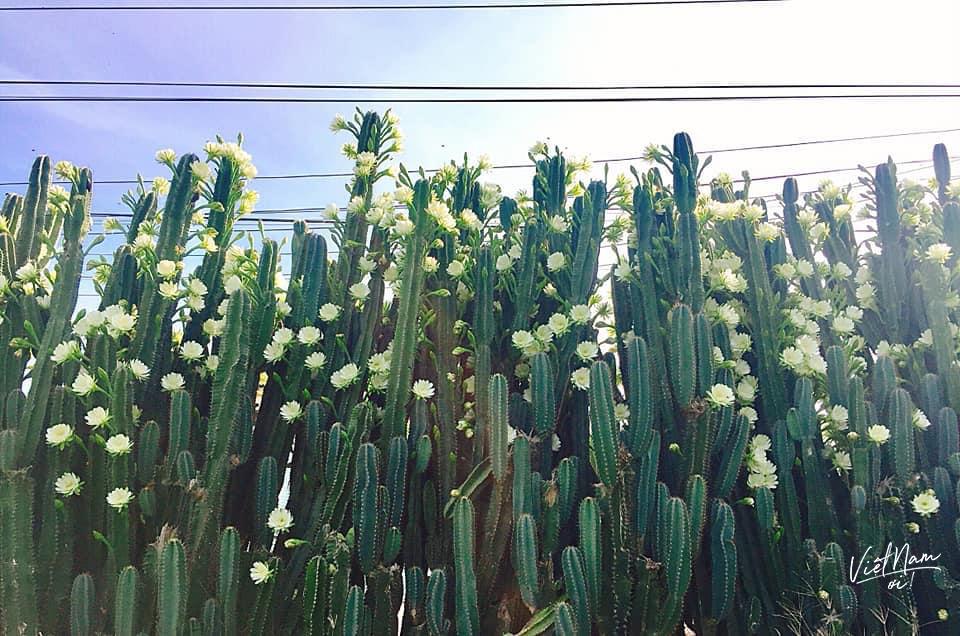 Loạt ảnh về hàng rào hoa trắng nàykhiến không ít người mê cảnh đẹp phải xuýt xoa