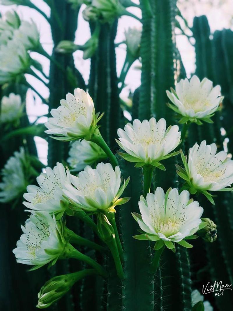 Hoa nởtrắng muốt, đẹp trong veo, to bằng cả bàn tay xòe của người lớn
