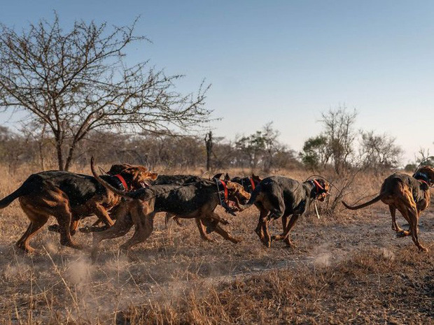 Johan van Straaten cho biết, với những cuộc tuần tra chỉ có con người mà không có sự trợ giúp của đơn vị phản ứng anh K9 thì tỷ lệ thành công chỉ chiếm từ 3 cho tới 5%. 'Dự án giúp đảm bảo sự tồn tại đa dạng sinh học của miền Nam châu Phi và động vật hoang dã trong đó có tê giác, loài bị ảnh hưởng nghiêm trọng bởi nạn săn bắt'.