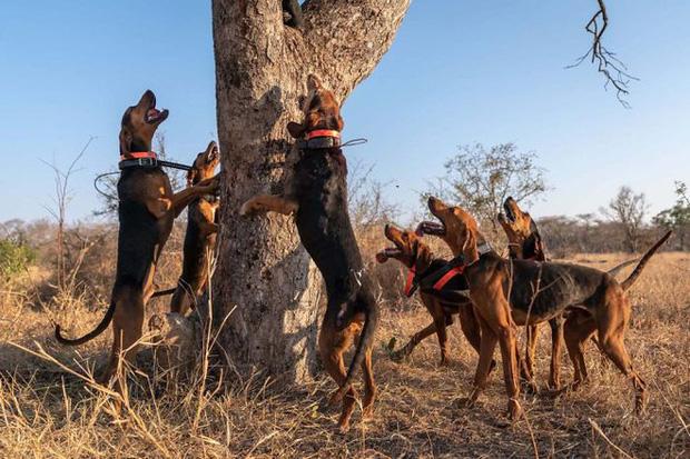 Những chú chó được tuyển chọn vào đơn vị đặc biệt này đều sở hữu thể hình vượt trội, hầu hết chúng đều nằm trong nhóm chó săn Beagle và Bloodhound, bởi đây là những giống chó săn cực kỳ năng động, sức khỏe dẻo dai cũng như có khứu giác vô cùng nhạy bén.